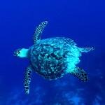 El vuelo de la Tortuga Marina y la Raya AguilaSea Turtle and Eagle Ray Flight
