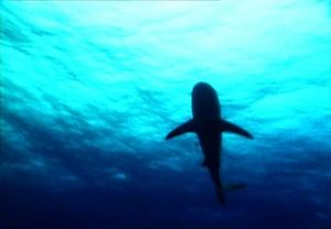 Tiburon Contrapicado Ivi